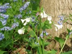 White-flowered bluebells