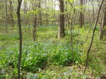 The bluebells' habitat