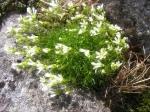 Minuartia groenlandica plant