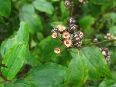 New Jersey Tea Fruits