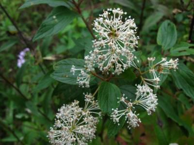 New Jersey Tea Flowers