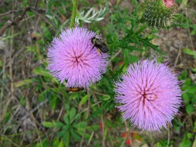 field-thistle flowers and pollinators