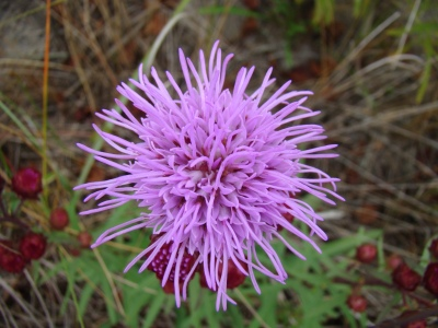 northern blazing-star, Liatris scariosa ssp. novae-angliae, state threatened