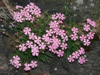 Wild Pink, Silene carolininana ssp. pensylvanica