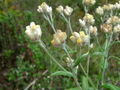 Cudweed flowers