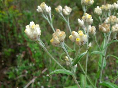 Cudweed flowers