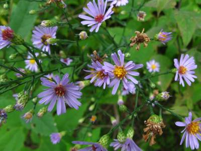 smooth blue aster flowers