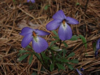 Viola pedata at Edgewood