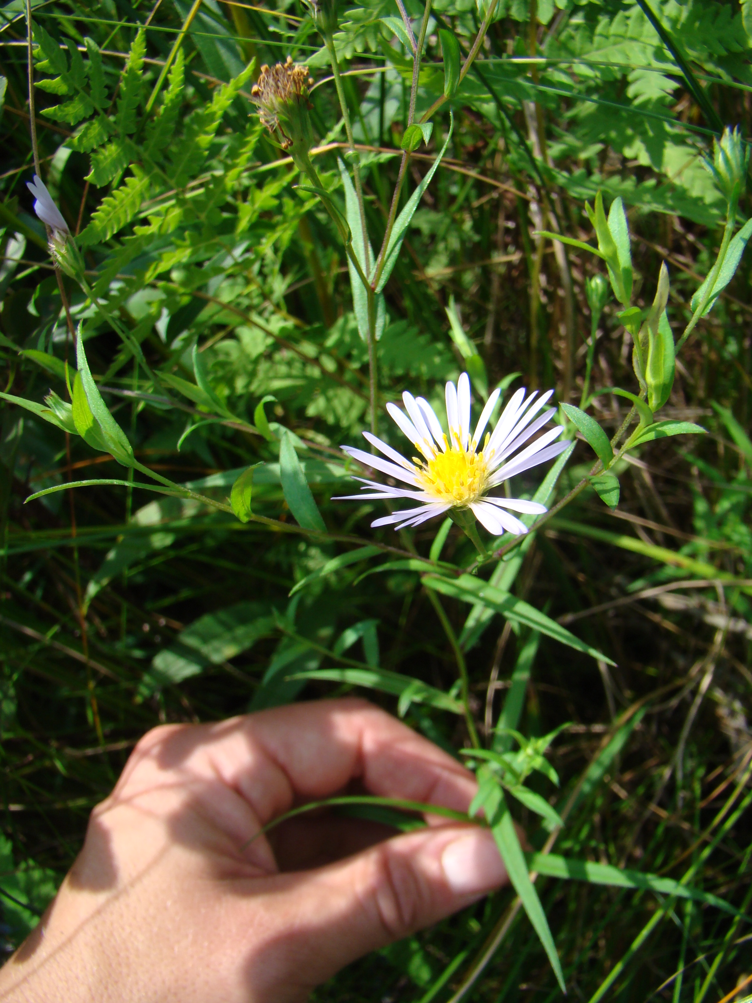 New York Flora Association Blog: New Rare Plant Finds In NY State Parks During 2010