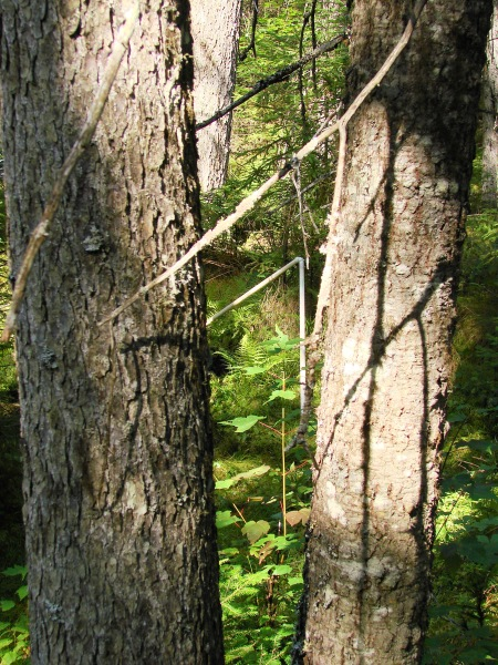 In the spruce-fir swamp we saw the rough bark of red spruce on the left with the smoother bark of balsam fir on the right.