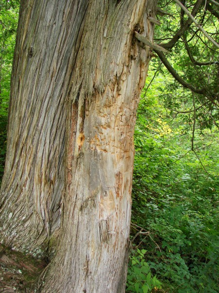 This northern white cedar had its bark damaged by a bear.