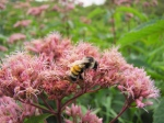 Many tricolored bumble bees, Bombus ternarius, were feasting on the spotted joe-pye-weed.