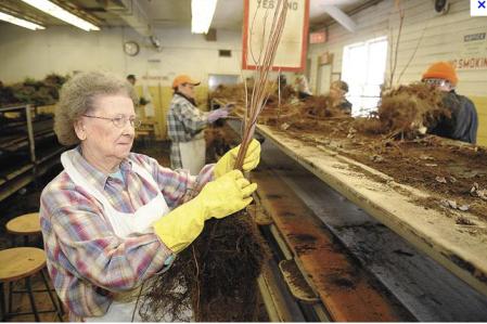 Staff working at the Saratoga Tree Nursery (DEC photo)