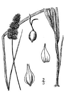 Carex aggregata illustration from Britton and Brown 1913.