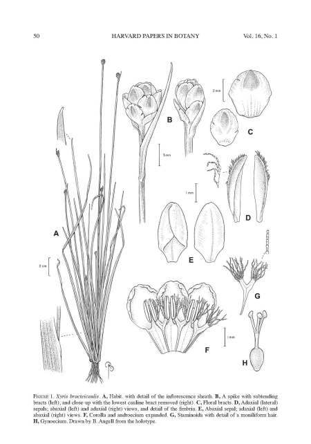 Campbell - 2011 - Xyris bracteicaulis drawing