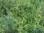 Carex folliculata ThousandAcre-002