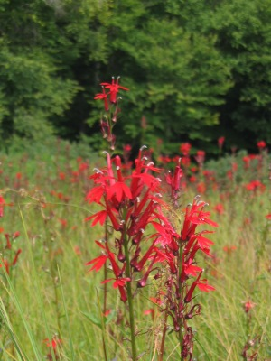 Cardinal flower at Indian Lake in the Adirondacks.